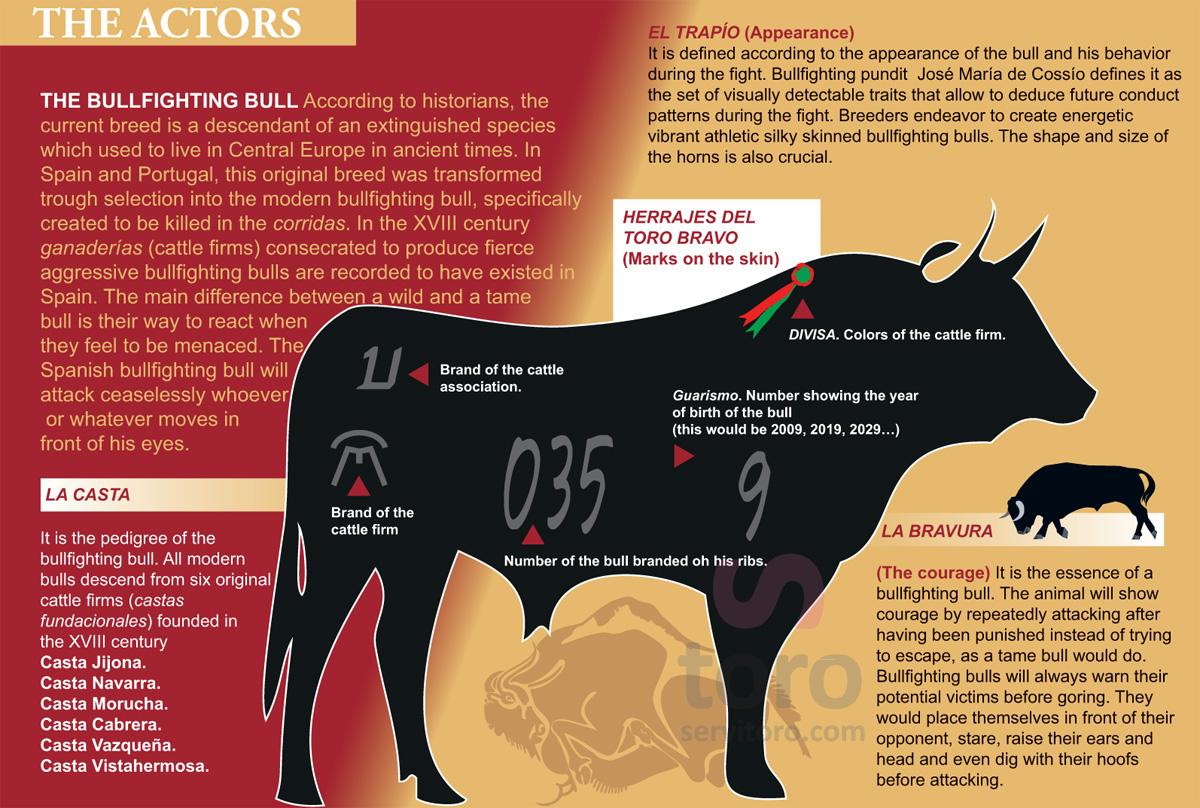 Spanish Bull, Toro de Lidia, Bullfighting Bull, Fighting Bull