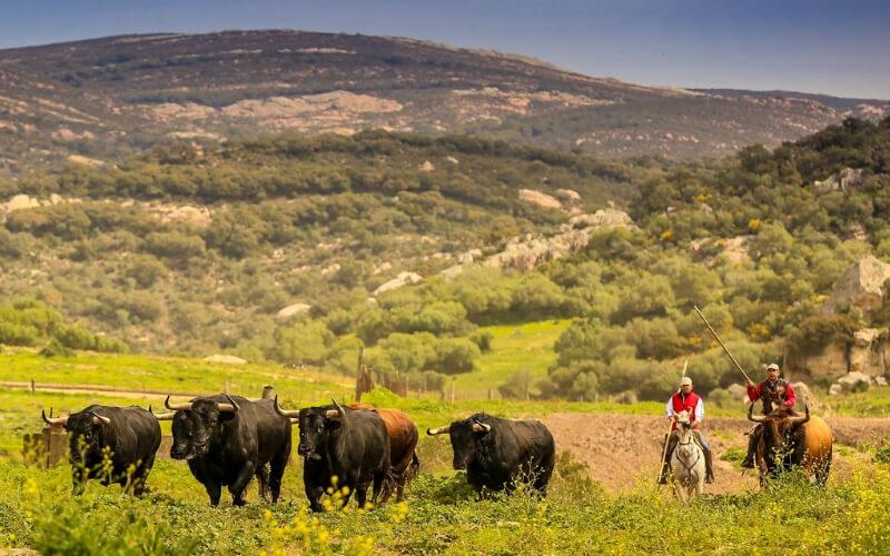 Bulls for Seville