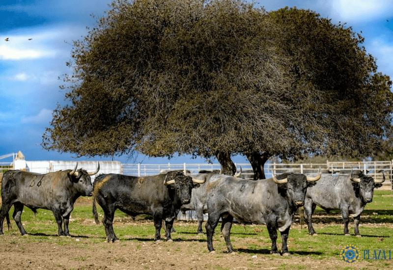 Toros de Victorino
